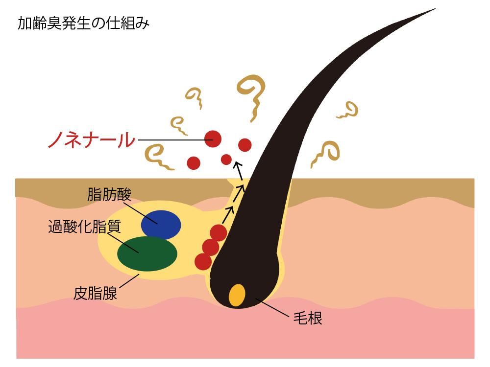 加齢臭発生の仕組み
